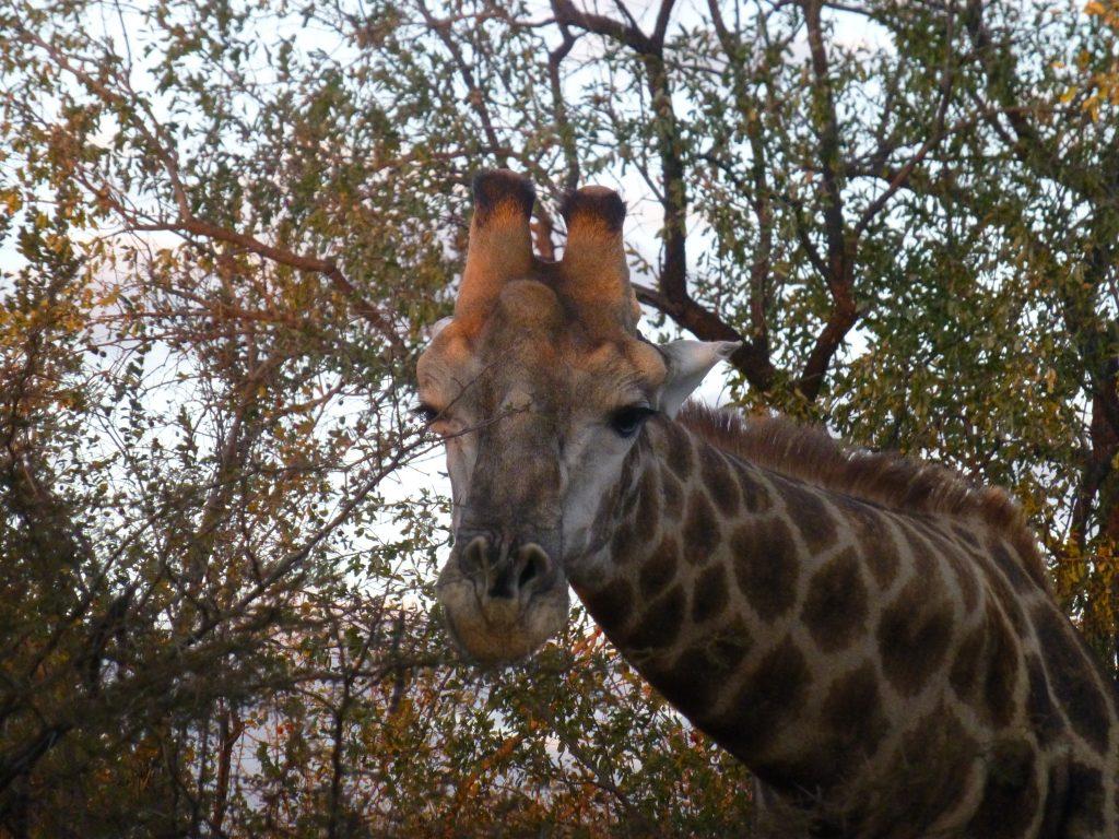 Netzgiraffe im Nationalpark Victoria Falls Simbabwe