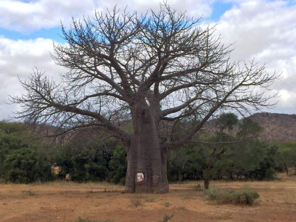 Baobab. Der beeindruckende Baum. Simbabwe 2008