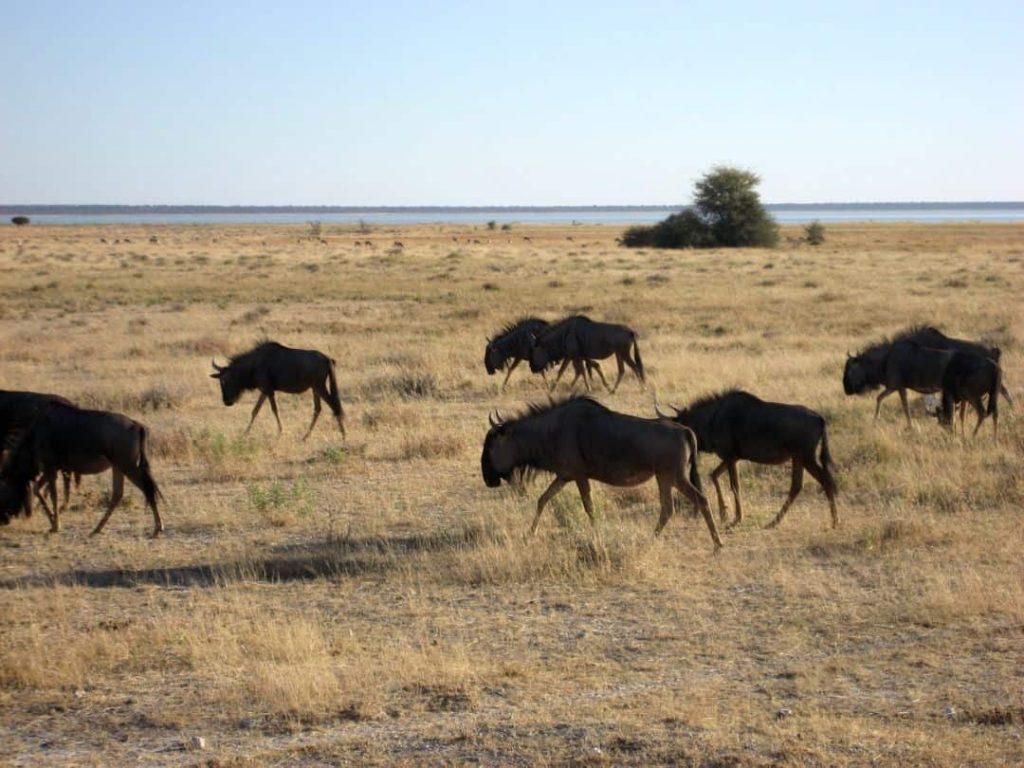 Büffelherde Namibia 2008